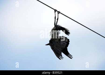Carrion crow (Corvus corone, Corvus corone corone), hanging