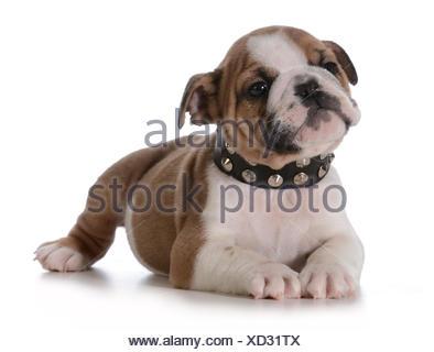 english bulldog puppy wearing spike collar on white